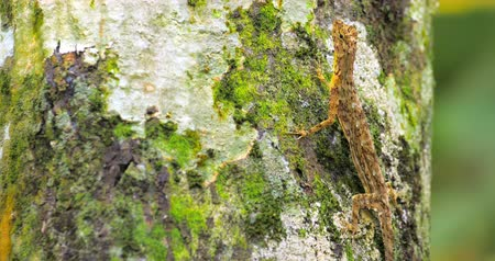 flying ants : Tropical lizard with camouflage colored skin praying for insects on tree trunk Stock Footage