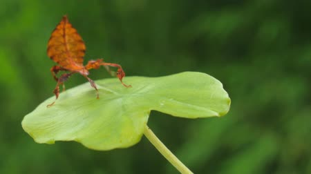 imitação : Amazing and rare animal in wildlife - Walking Leaf insect in tropical rainforest