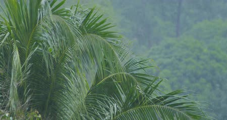 clima tropical : Palm trees under tropical rain Stock Footage