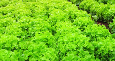 salad : Close up view of fresh leaves of green lettuce salad growth outdoor 4k video Stock Footage