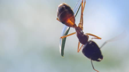 муравей : Close up macro video view of large tropical ant on plant