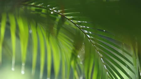 folhas : Wet palm leaf nature background