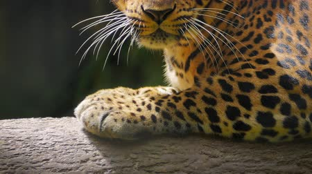 mamífero : Close up view of eyes of beautiful jaguar black spotted leopard
