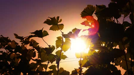 hot wine : Wine grapes leaves silhouettes against hot summer sun at sunset on vineyard HD video footage