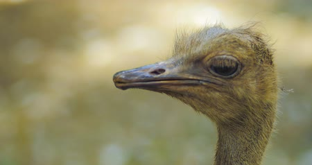 pštros : Close up view of funny ostrich head