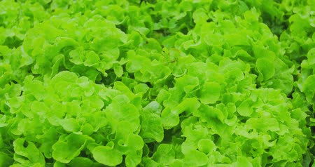 marul : Green lettuce salad bed. Organic farm cultivation 4k video