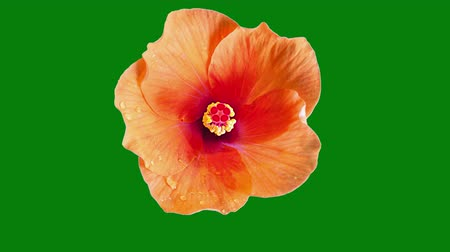 flor cabeça : Hibiscus tropical flower time lapse bloom on green screen chroma key background with matte alpha channel