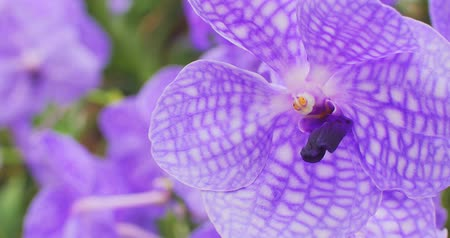 eleganckie : Violet orchid flower in tropical garden. Beautiful and elegant exotic plant 4k video