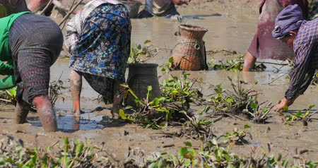 fish farm : Group of Burmese villagers collecting eel fish in mud after draining small pond to become rice field in coming season. Many local people engaged in this traditional activity every year Stock Footage