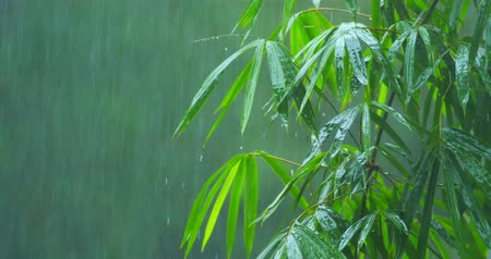 esőerdő : Bamboo tree under tropical rain fall during monsoon rainy season Stock mozgókép