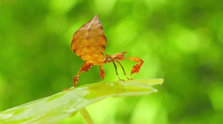 phyllium : Weird mimicry camouflage of tropical animal. Walking leaf insect close up view