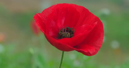 haşhaş : Large red poppy close up dolly 4k shot