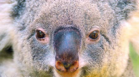 Koala Bear close up portrait. Phascolarctos cinereus - endangered animal of Australia