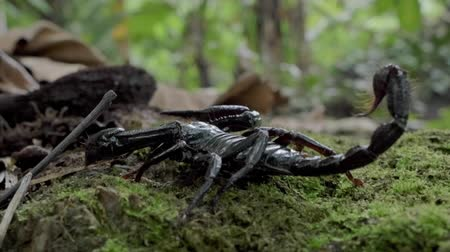 vadon : Wildlife animals of tropical rainforest, camera follows of Giant Forest Scorpion creeping in wild nature