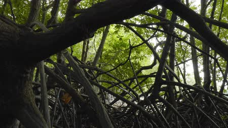 mangue : Inside in mangrove forest point of view slider tracking shot