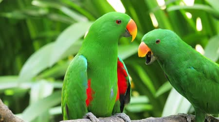 ara papagáj : Green Eclectus parrot feeds grown baby on tree branch in natural environment