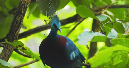 pigeon nest : Graceful and beautiful Victoria Crowned Pigeon with topknot and red eyes on tree branch in tropical forest