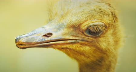 pštros : Ostrich turns head and stares on camera close up view