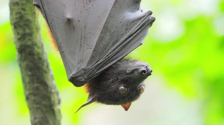 pteropus : Large Flying Fox Pteropus Vampyrus in rain forest wildlife reserve