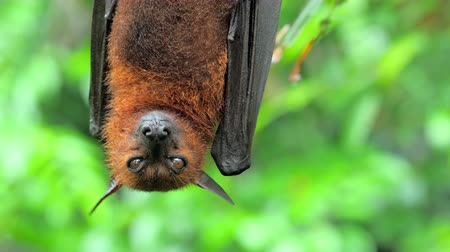 лиса : Flying Fox Pteropus hanging on tree branch in tropical rain forest in Asia