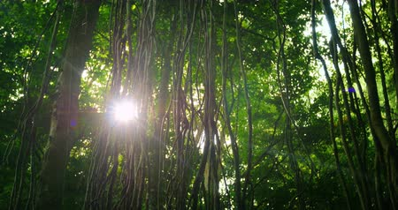 esőerdő : Sunlight beam flicker through leaves and trees of rainforest canopy in jungle
