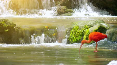 ptak : Peaceful nature background of beautiful red feathered Scarlet Ibis bird in park