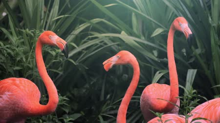 çevre : Flock of beautiful and exotic pink flamingos in natural environment