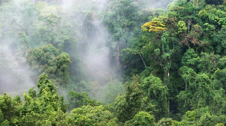 floresta tropical : Humid climate of asian rainforest. Mist and fog among jungle forest canopy