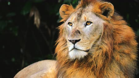 aslan : Portrait of large African lion looking around with calm expression