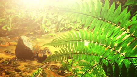 kapradina : Leaves of green ferns near shallow creek and bright yellow sunlight Dostupné videozáznamy