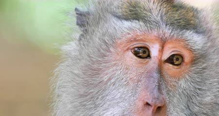 long tailed macaque : Close up eyes of adult monkey in wildlife of Bali island in Indonesia