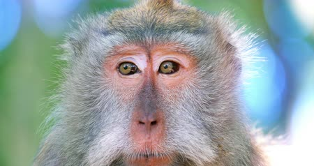 Adult macaque monkey female makes sound calling for baby. Closeup eyes and face