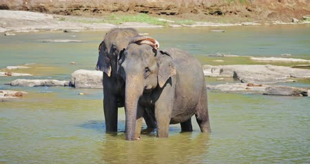 yırtıcı hayvan : Mating couple of Asian elephants. Male displays love with trunk on females head Stok Video