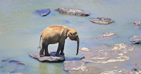 water conservation : Cute young Asian elephant walks alone on  river bank in Pinnawala, Sri Lanka