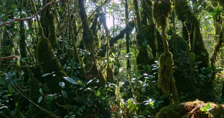 deep forest : Green moss on tree branches at sunny day in humid and dense tropical rain forest Stock Footage