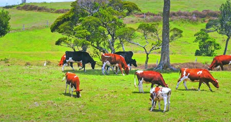 pastar : Beautiful countryside landscape of farm animals cows grazing on summer pasture