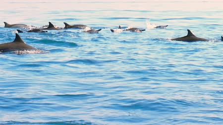 Group of wild dolphins swimming in open sea near coast of Sri Lanka
