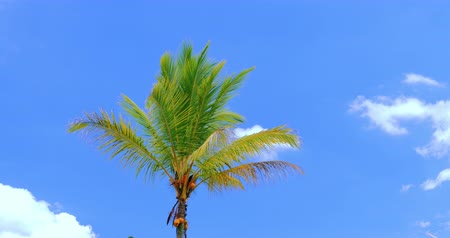 coconut palm tree : Beautiful tropical nature background with palm tree, green leaves and blue sky Stock Footage