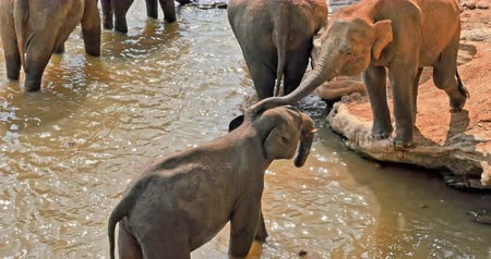 animal world : Relationship and friendship in animal world. Elephants interacting and touching