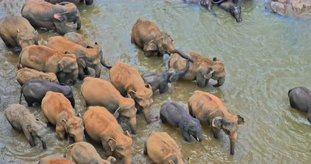 stádo : Wild elephants herd in river aerial view. Pinnawala orphanage centre Sri Lanka