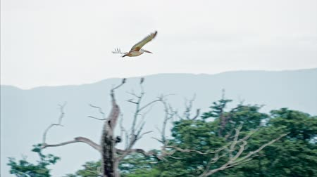 spot billed pelican : Wild Spot-billed pelican flying and gliding high in air in Yala park Sri Lanka Stock Footage