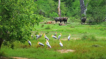 painted stork : Yala national park in Sri Lanka landscape with wild animals in reserved forest