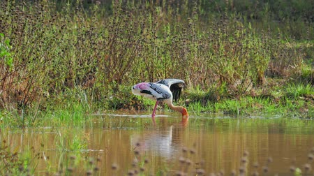 ciconiidae : Beautiful wild Painted Stork hunting and looking for food in marsh of Yala park
