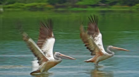 spot billed pelican : Amazing wildlife moment of two pelicans take off from water and fly in Sri Lanka