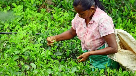 plantio : Local woman collecting green tea leaves in Sri Lanka countryside
