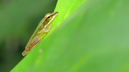anura : Tropical tree frog in Thailand rainforest on leaf. Can change color for better camouflage. Wild little amphibian on green plant. Asian reptile, toxic creature living in rainforests. Treefrog species