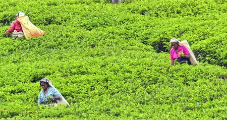 cejlon : Farming in rural Sri Lanka. Local women in traditional clothes picking tea leaves