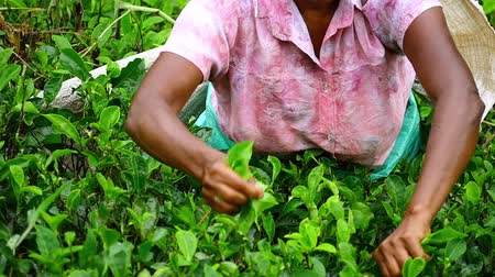 bennszülött : Slow motion video of hands picking fresh green tea leaves in Sri Lanka countryside