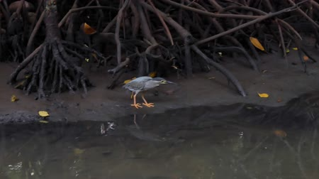 bentota : Small wild bird walks on mud shore in mangrove forest. Sri Lanka nature and wildlife background Stock Footage