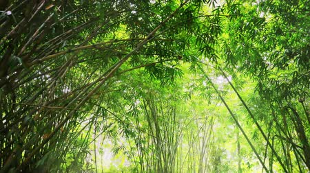 bamboo forest : Sun rays shine through green bright bamboo forest foliage. Jungle lush in Asia